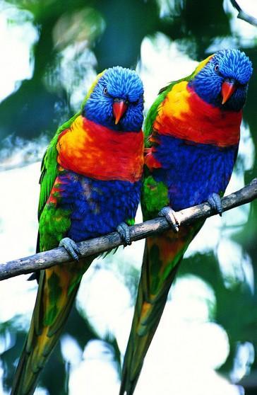 壁纸 动物 鸟 鹦鹉 364_558 竖版 竖屏 手机