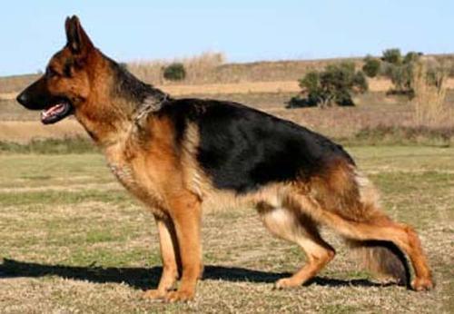 德国牧羊犬美容