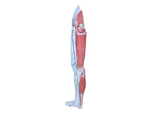 大腿结构示意图高清
