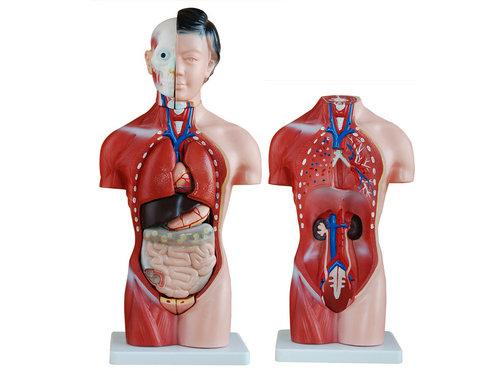 少年人体半身模型