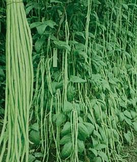 豆科草本植物豇豆的种子或荚果