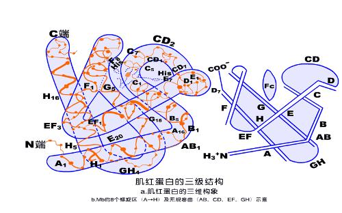 由于三级结构与蛋白质的生物学功能直接相关