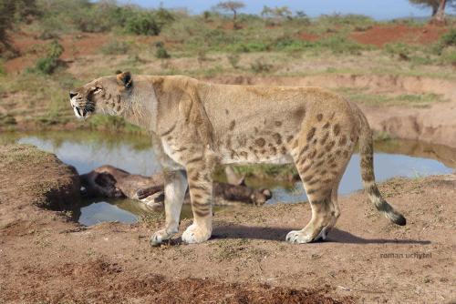 食物:捕食哺乳动物,例如:美洲野牛,鹿和马 事实特征:被称为加州剑齿虎