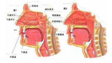 儿童喉咙结构图片