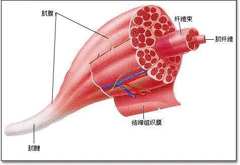 肌肉_持续的肌肉收缩