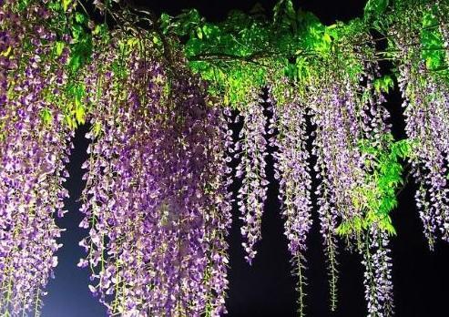 紫藤萝花;