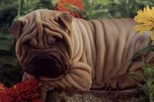 沙皮狗_沙皮全图片大全PS沙皮皱褶的缘由沙皮犬俱