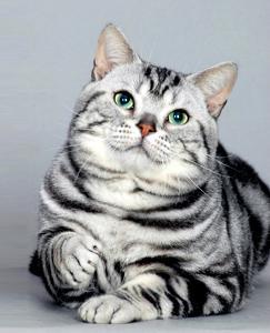 美国短毛猫 搜搜百科