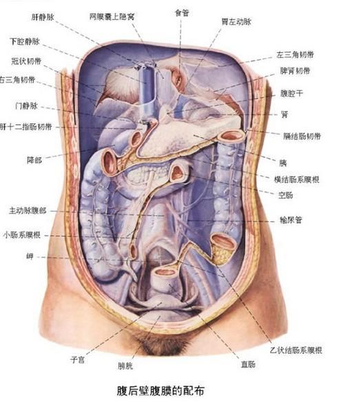 人体解剖图五脏六腑高清图片女性人体解剖图五脏六腑