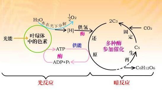 光合作用的两个阶段