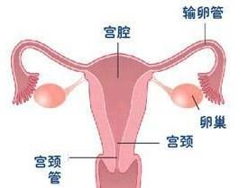 女性生殖系统 搜搜百科