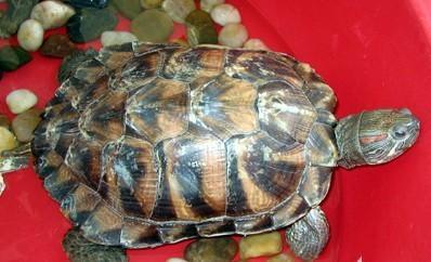 的石块或落叶下冬眠.对于家养的水龟,有几个冬眠措施可供选择:-