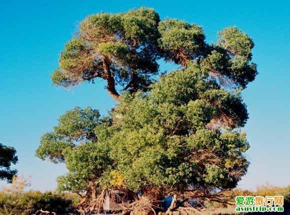 """在这棵千年""""神树""""周围30米内,又分生长出5棵粗壮的胡杨树,牧人们把"""