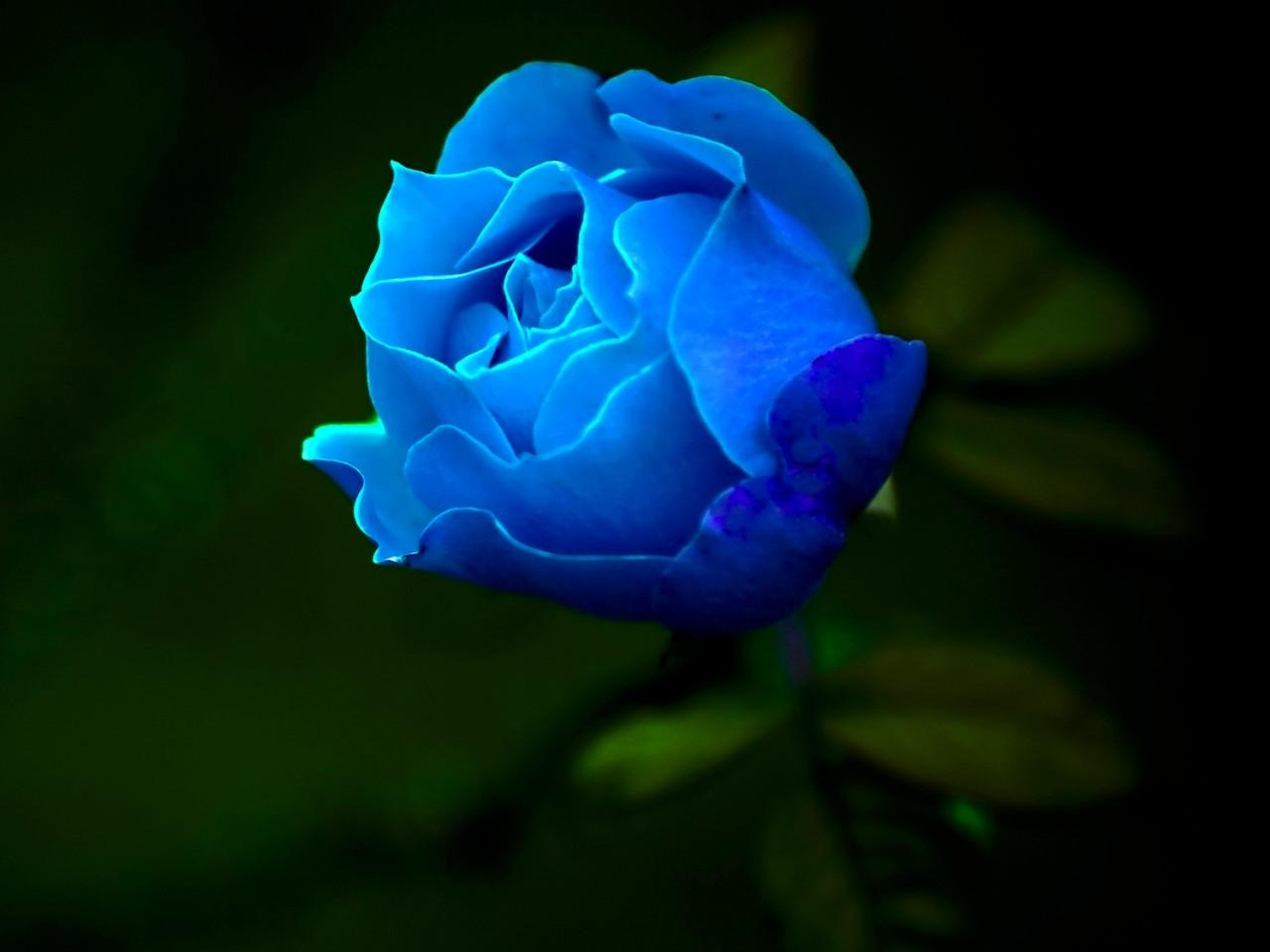 蓝色妖姬是干花吗_蓝色妖姬是蓝玫瑰吗 _排行榜大全
