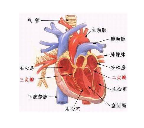 心脏解剖图手绘简笔艺术