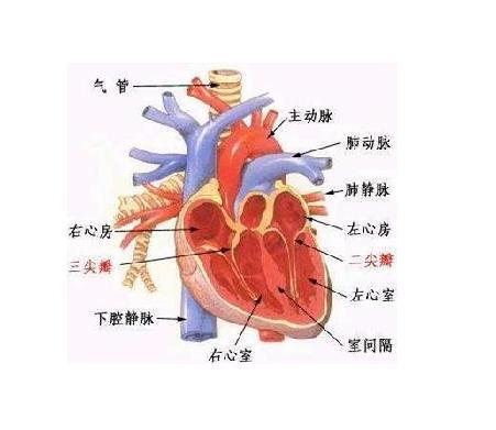 损害可能改变瓣的结构和功能,可能导致心脏口反流和(或)狭窄,最终出现