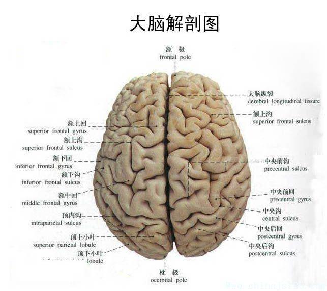 腦部結構圖