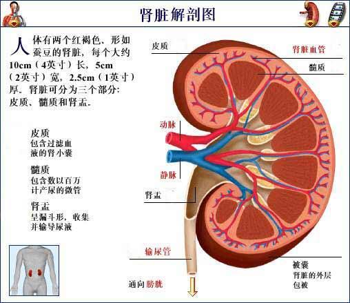 肾脏结构图