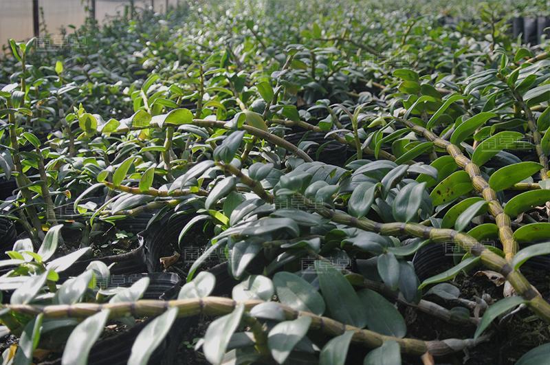 铁皮石斛大棚种植图片