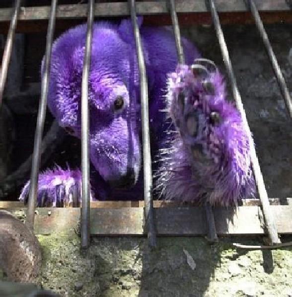 紫色北极熊