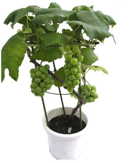 葡萄盆栽结果早,如栽培管理得法