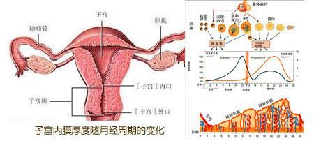 宫膜厚度随月经周期化