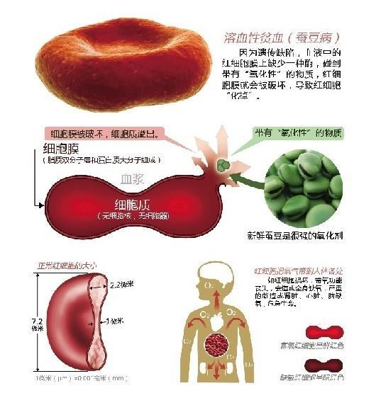 蚕豆细胞图手绘