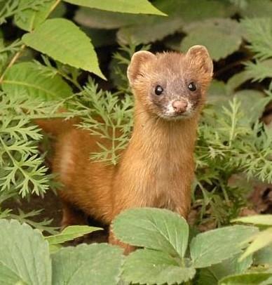 鼬是鼬科种类动物的通称,全世界共有17种,该科动物的普遍特点是状似