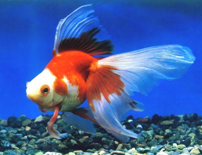 鱼特征:硬骨鱼系是世界上现存鱼类中最多的一类,有2万种以上,大部分生活在海水域,部分生活在淡水中。其主要特征是: 骨骼不同程度地硬化为硬骨。 体表被硬鳞、圆鳞或栉鳞,少数种类退化无鳞。皮肤的粘液腺发达, 鳃间隔部分或全部退化,鳃不直接开口于体外,有骨质的鳃盖遮护,从鳃裂流出的水,经鳃盖后缘排走,多数有鳔。 鱼尾常呈正型尾,亦有原尾或歪尾。 大多数体外受精,卵生,少数在发育中有变态。 硬骨鱼系共分3个亚纲,即总鳍亚纲(Crossopherygii)、肺鳍亚纲(Dipnoi)和辐鳍亚纲(Actinop