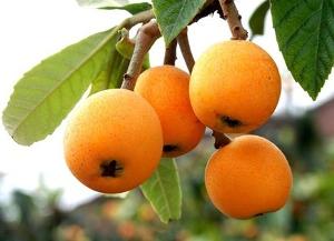 枇杷树有机肥施肥方法