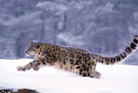动物素描画法步骤雪豹