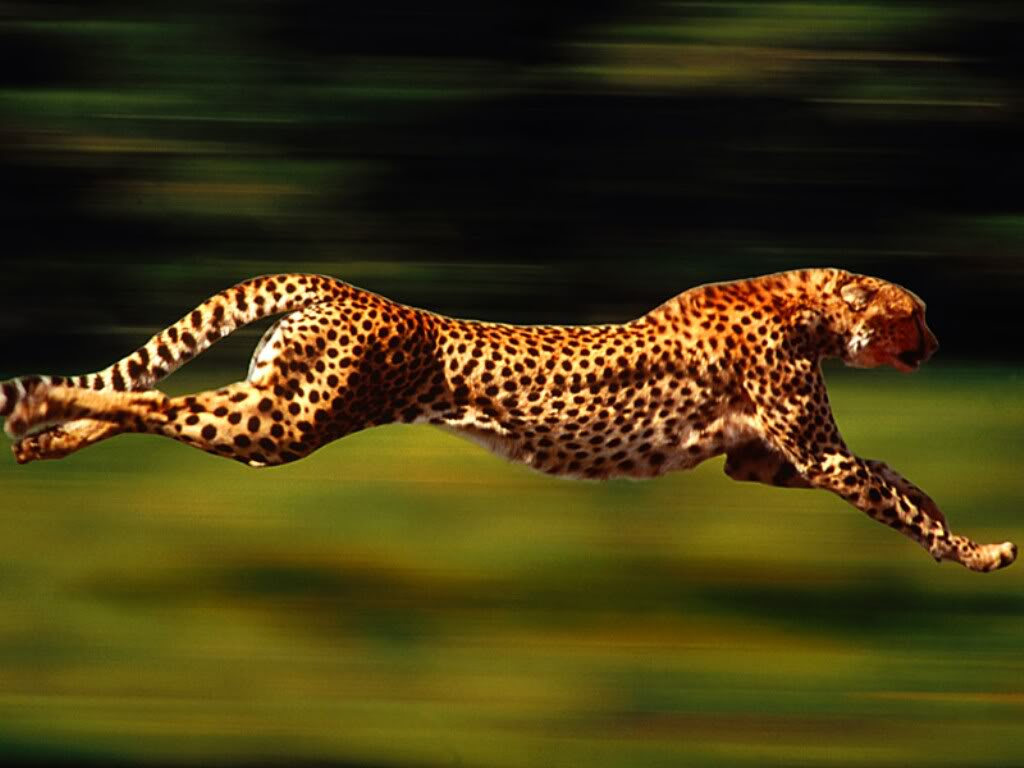 猎豹在奔跑的时候,由于追捕羚羊的需要,在急转弯时,它那条大尾巴就起