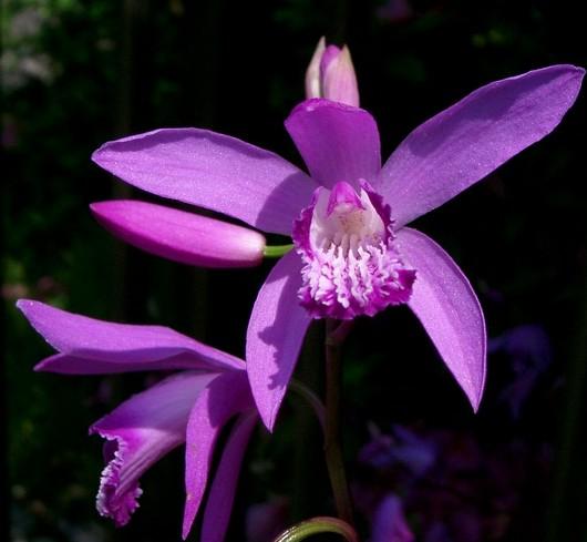 【景观用途】:芳香石豆兰花大而有香味