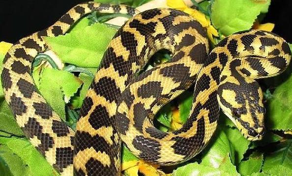 蟒蛇(动物)