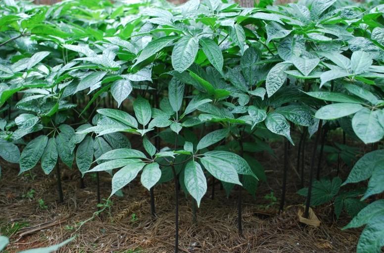 三七花(植物)