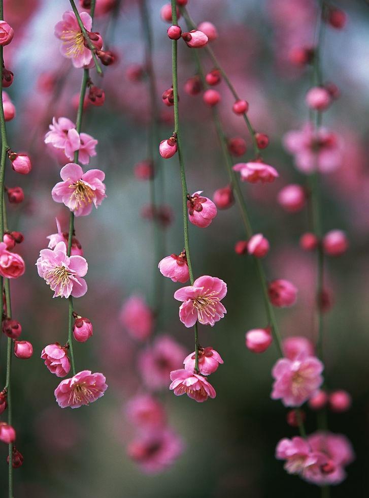 梅瑰花朵彩铅画步骤图