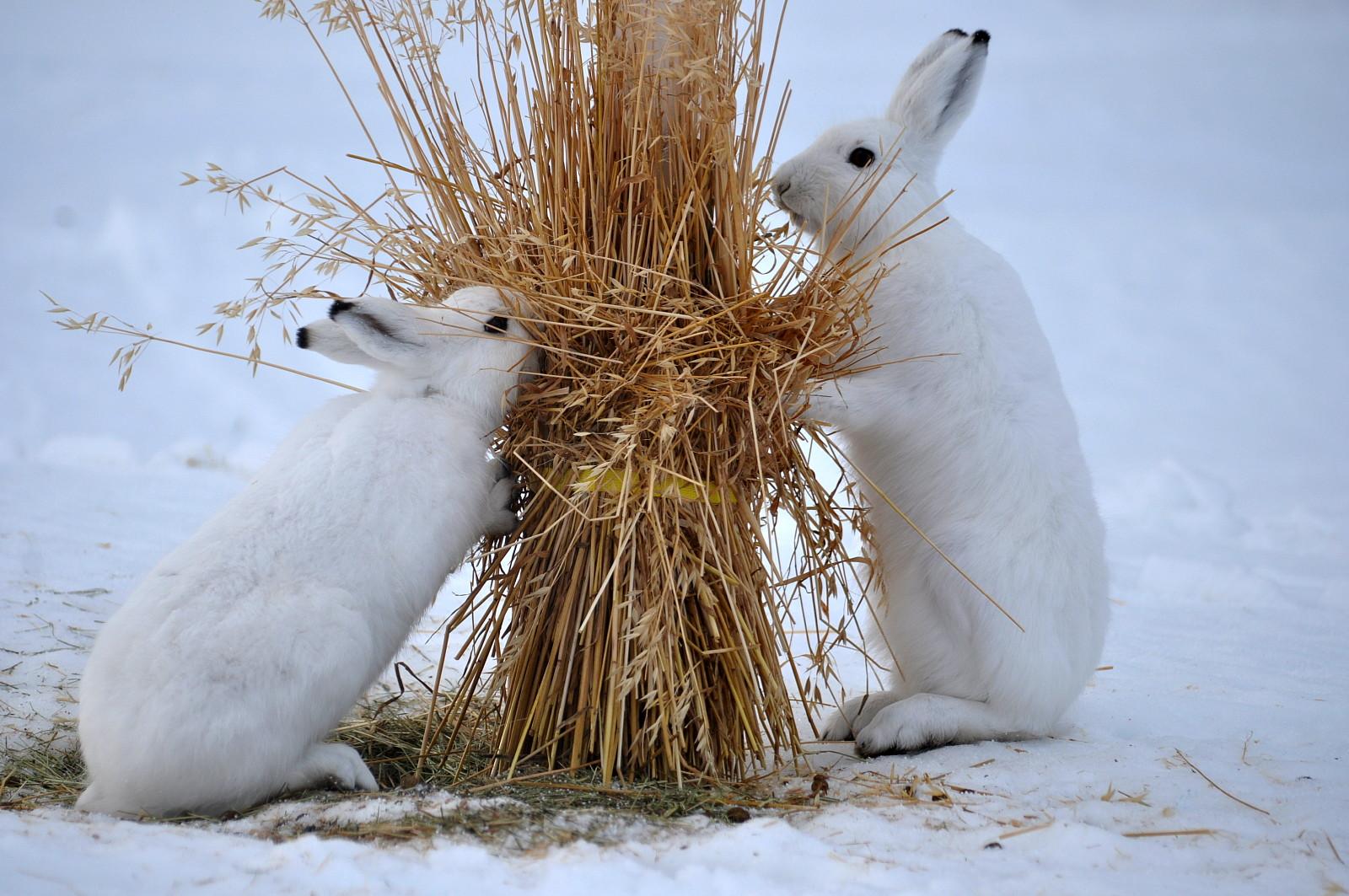 雪兔(兔科兔属动物的一种) - 搜狗百科