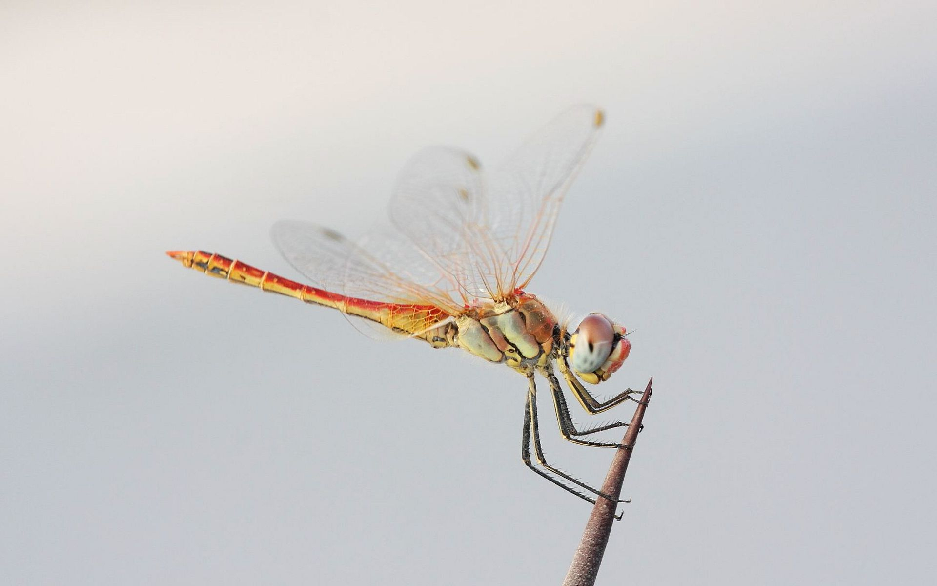 红蜻蜓腹长约3厘米,后翅长约四厘米。成熟雄蜻蜓体色为朱红色,翅膀透明;雌虫则为黄色,分布于中 红蜻蜓照片1低海拔地区。红蜻蜓主要出现在4-12月份,常在水域附近的草丛附近活动,是常见的蜻蜓之一。红蜻蜓是蜻蜓科赤蜻属的总称,有半黄赤蜻和夏赤蜻等约21种。这种蜻蜓雌性成虫和未成熟的雄性都是黄色的,但是雄性在成熟过程中就会慢慢变色,从黄色变成了红色。此前人们以为,这种性别的颜色差异是为了便于其繁殖时的辨识。   日本产业技术综合研究所的研究人员采集了夏赤蜻等3种红蜻蜓的体内色素研究发现,它们属于红色特征较