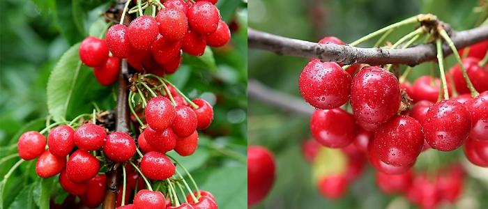 樱桃品种-樱桃 蔷薇科落叶乔木果树 搜狗百科