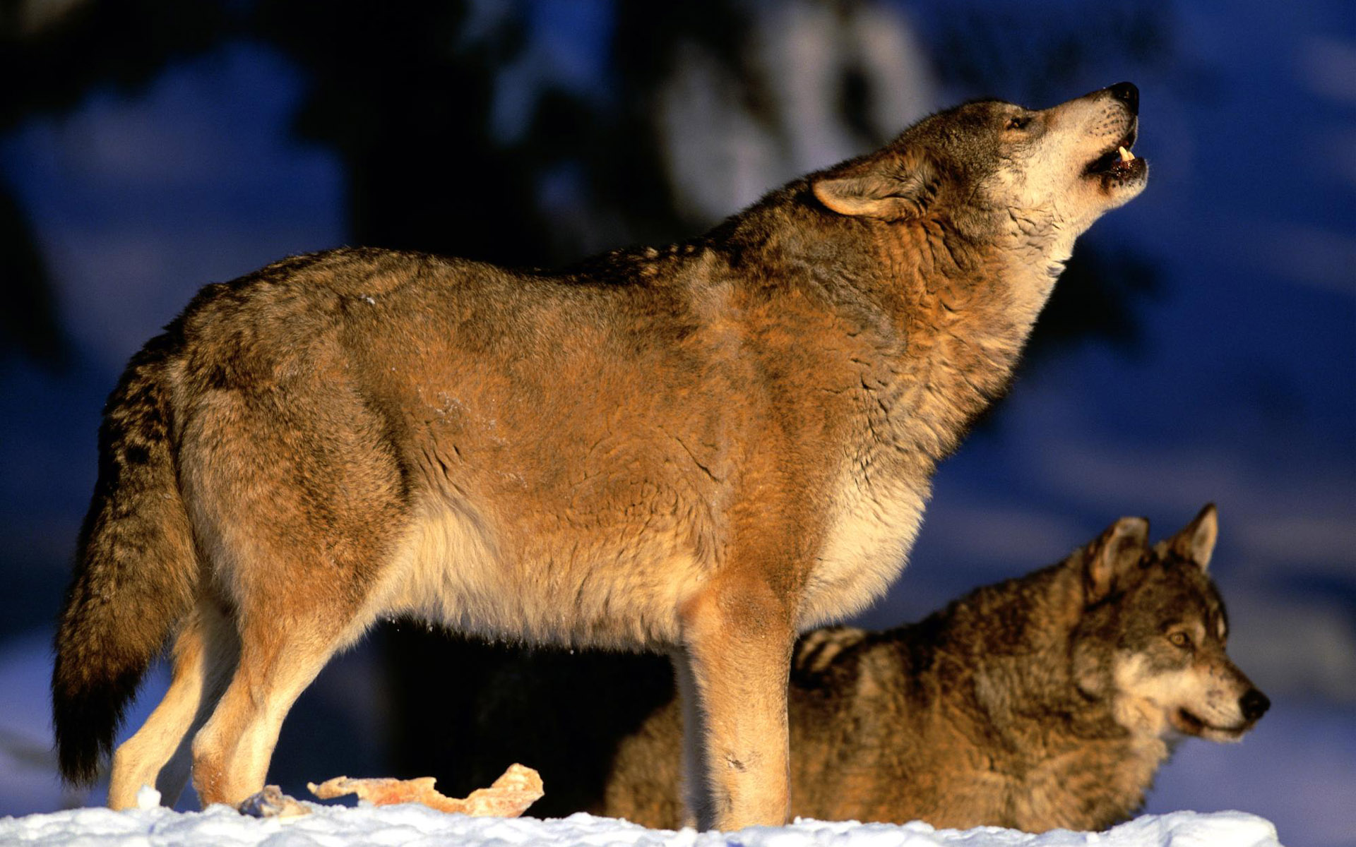 狼与美女葫芦丝谱子