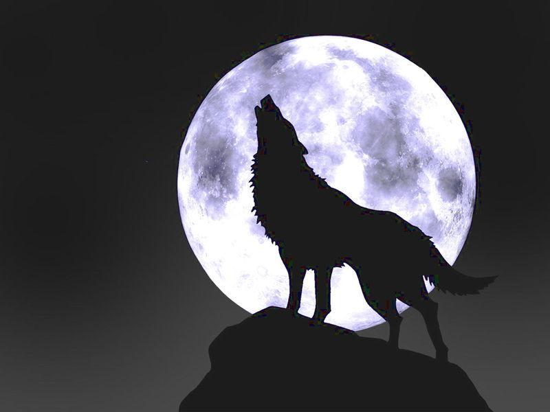 男生图狼图腾纹身图片; 犬科哺乳动物; 动物后代,狼和狗的后代快播