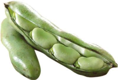 蚕豆种子手绘图