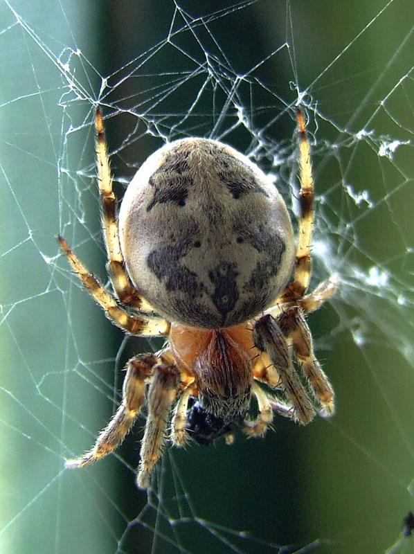 蜘蛛是不是节肢动物