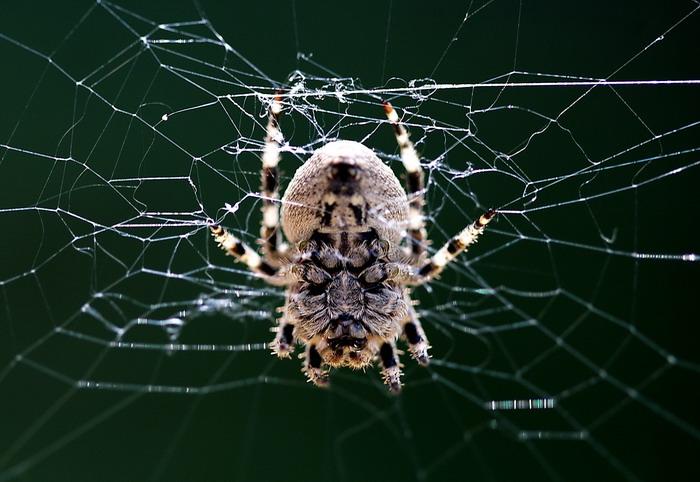 spider(节肢动物门动物) - 搜狗百科