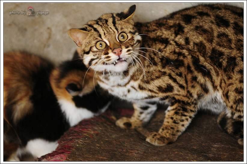 石虎(猫科动物)