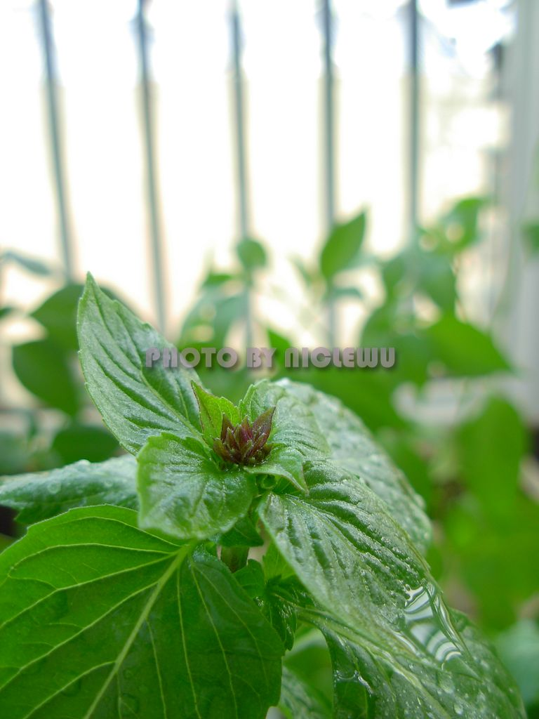 香草(多种芳香植物统称)