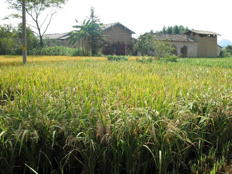 玉米和水稻的简笔画