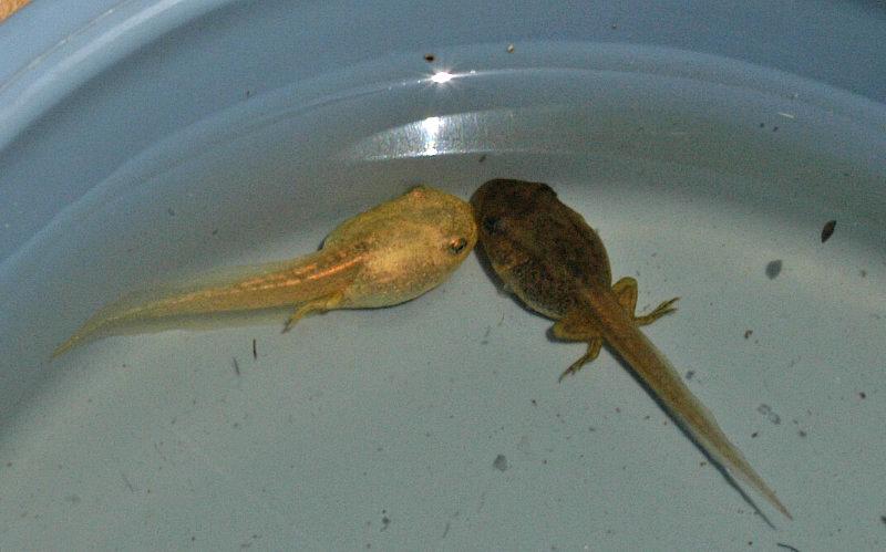 牛蛙的蝌蚪(1)