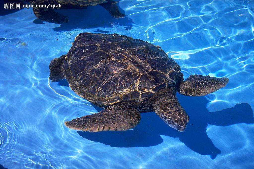 海龟(海龟科,棱皮龟科动物) - 搜狗百科