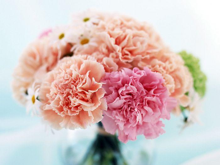 康乃馨是最受欢迎的切花之一